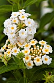 LANTANA PATRIOT WEEPERS DOVE WINGS