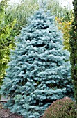 ABIES CONCOLOR BLUE CLOAK