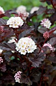 PHYSOCARPUS OPULIFOLIUS CENTER GLOW