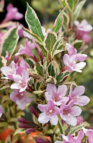 WEIGELA_FLORIDA_MAGICAL_RAINBOW