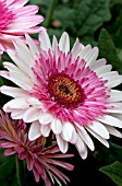 GERBERA JAMESONII EVERGLADES