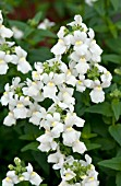 NEMESIA CONFECTION WHITE