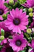 OSTEOSPERMUM SERENITY DARK PURPLE