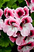 PELARGONIUM REGAL ARISTO DARLING