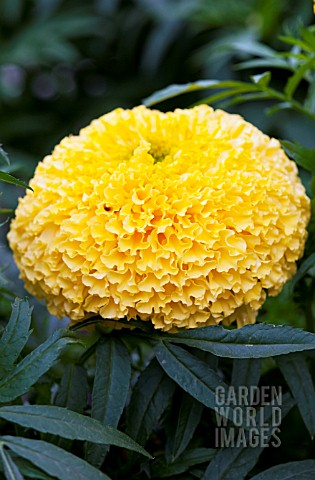 TAGETES_ERECTA_NARAI_YELLOW