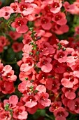 DIASCIA GENTA ORANGE IMPROVED