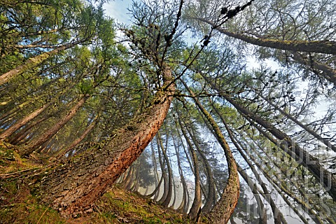 Larch_trees_twisted_by_the_snow_in_winter