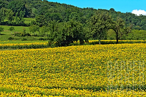 Field_of_Sunflowers_in_bloom__France