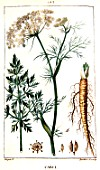 Botanical drawing of Carum carvi (caraway)