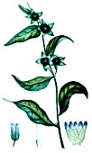Botanical drawing of Atropa belladona (deadly nightshade)