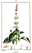 Botanical drawing of Ocimum basilicum (basil)