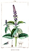 Botanical drawing of Mentha x piperita (peppermint)