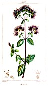 Botanical drawing of Origanum (oregano)