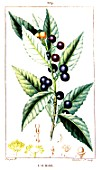 Botanical drawing of Laurus nobilis (sweet bay)