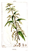 Botanical drawing of Urtica urens (small nettle)
