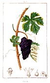 Botanical drawing of Vitis (wine grape)