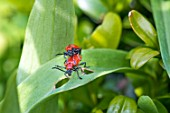 Lily beetles mating in a garden