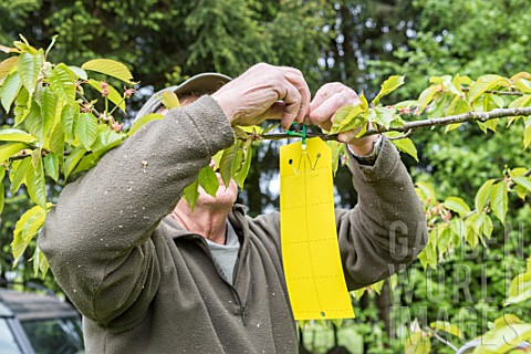 Setting_up_of_a_pheromone_trap_on_cherry_tree