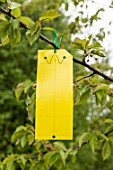 Setting up of a pheromone trap on cherry tree
