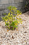 Cherry laurel on wood chips mulching in a garden