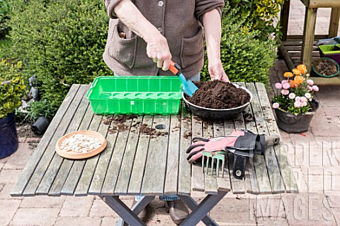 Sowing_of_potiron_squashes_in_a_seed_tray