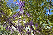Wisteria in bloom - Luberon France