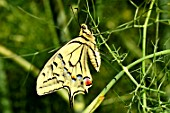 Swallowtail on Fennel - France