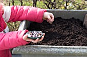 Sowing of scarlet runner bean by a little girl in a garden