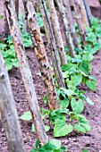 French climbing beans, snap beans in a kitchen garden