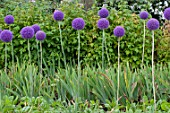 Allium cristophii in bloom in a garden