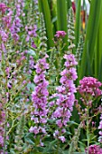 Lythrum salicaria Lady Sackville in bloom in a garden