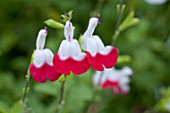 Salvia grahamii Hot Lips in bloom in a garden