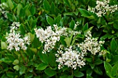 Ligustrum japonicum Texanum in bloom in a garden