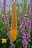 Eremurus (Foxtail lily) in bloom in a garden