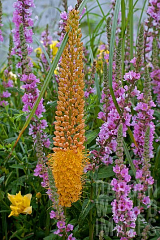 Eremurus_Foxtail_lily_in_bloom_in_a_garden