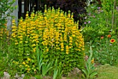 Lysimachia punctata in bloom in a garden