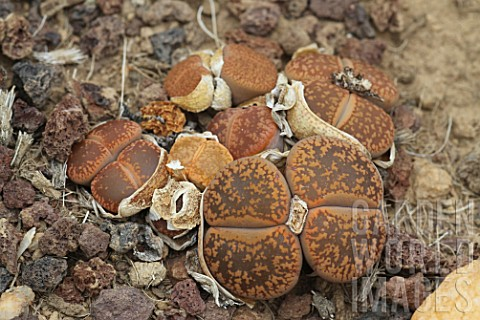Lithops_Living_Stone_plant_in_a_greenhouse