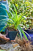 Planting Agapanthus umbellatus (Nile Lily) in a garden