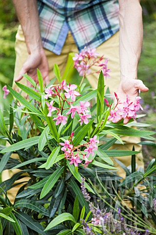 Plantation_of_an_Oleander_in_a_garden