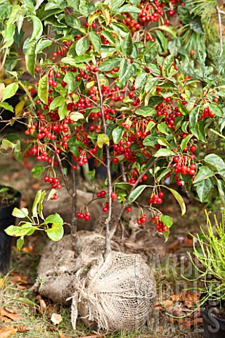 Crabapple_tree_Red_Sentinel_to_be_planted_in_a_garden