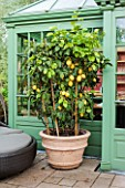 Large fruiting Lemon tree on patio in container. Garden: Manfred Siegwarth.