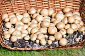 Culture of button mushrooms in a garden