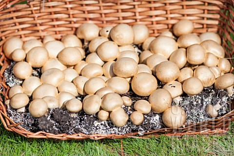 Culture_of_button_mushrooms_in_a_garden