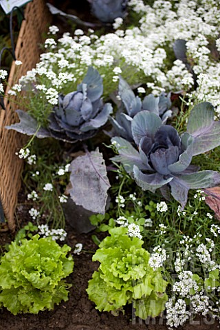 Cabbages_and_Alyssum_in_bloom_in_a_kitchen_garden