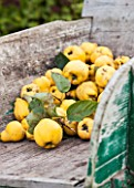 Harvest of Quince Bourgeaud in a wheelbarrow