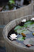 Water lilies in bloom in a little garden pond