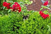 Cat hiding in a bush and Roses - Alsace France
