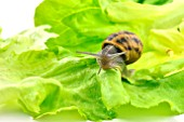 Large gray snail on a lettuce leaf