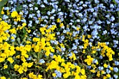 Alyssum and Myosotis flowers in spring - France