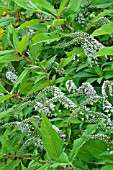 Lysimachia clethroides (Gooseneck loosestrife) in bloom in a garden